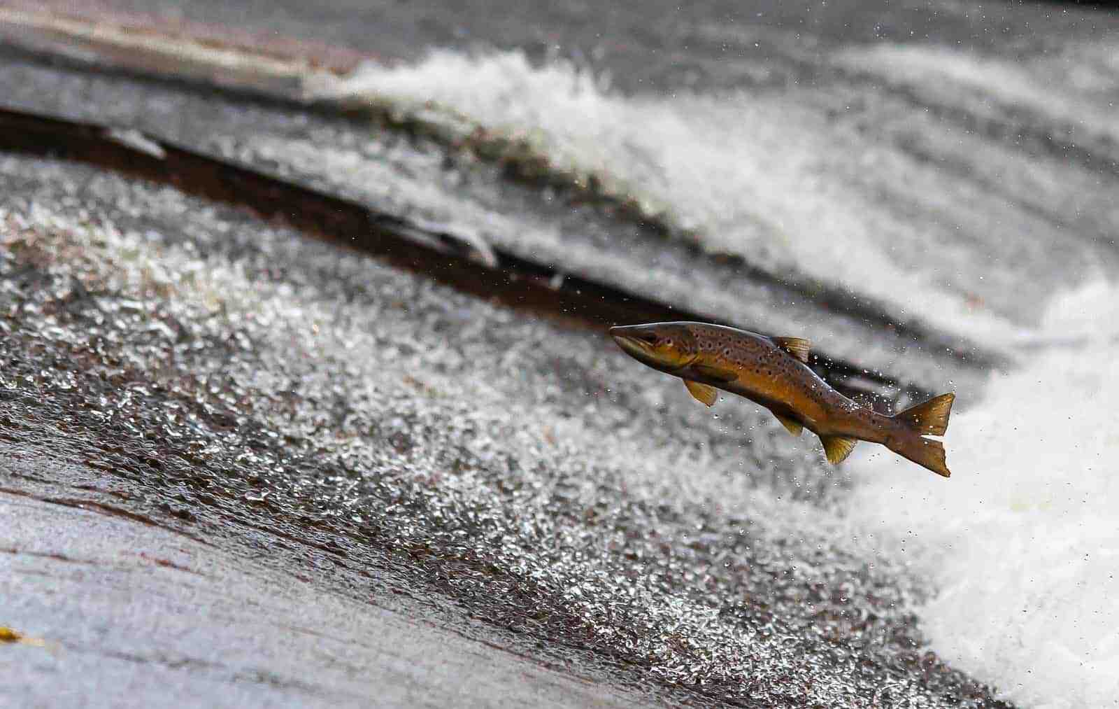 Atlantic Salmon on the river Spey