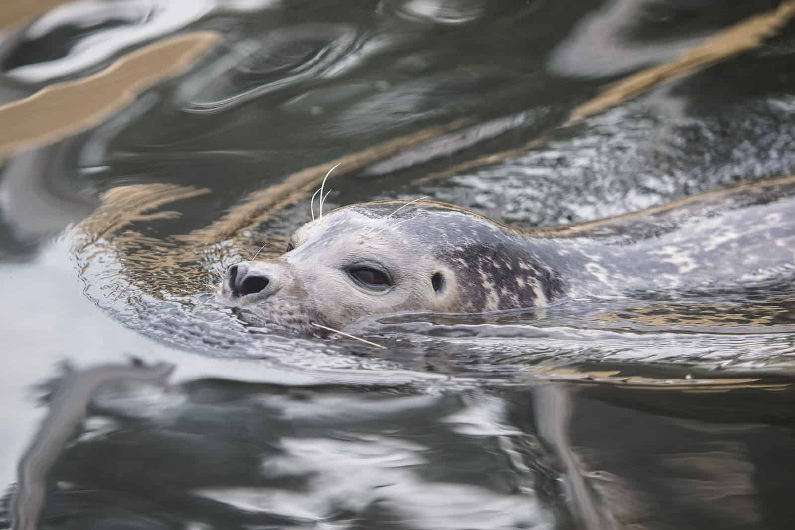 Seals on the river Spey