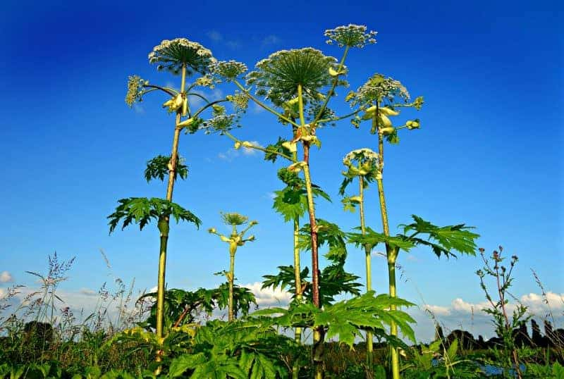 Giant Hogweed an essential plant to know when practicing bushcraft in the UK
