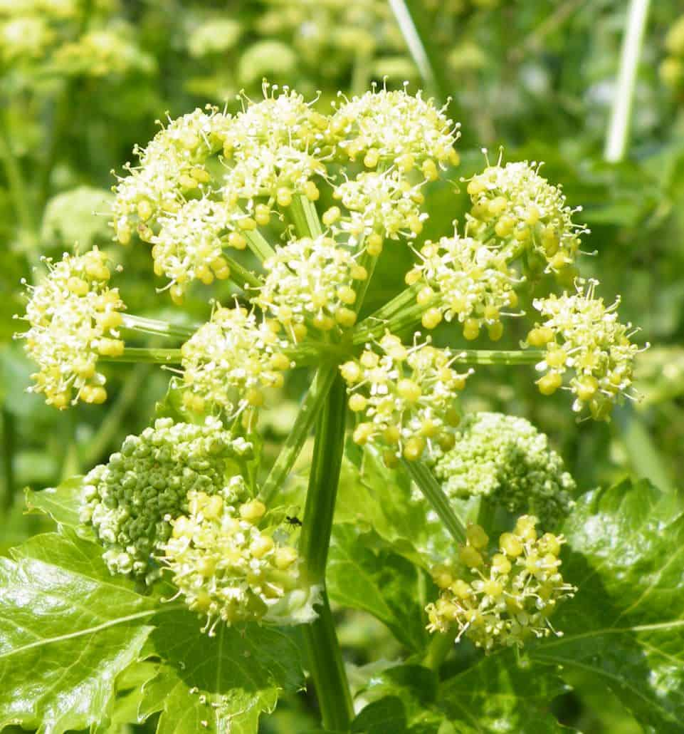 Foraging and bushcraft in the UK the plant Alexanders (Smyrnium olusatrum)