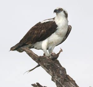 Bushcraft Osprey