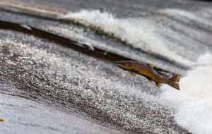 Spey Salmon