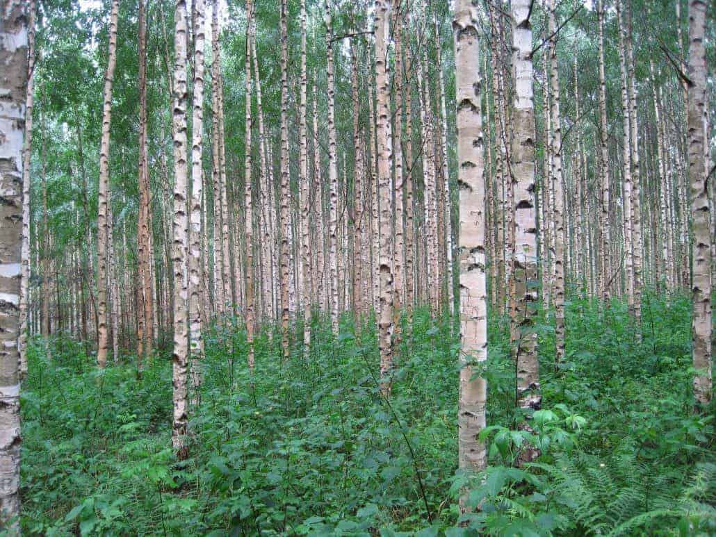 Trees for bushcraft Silver Birch