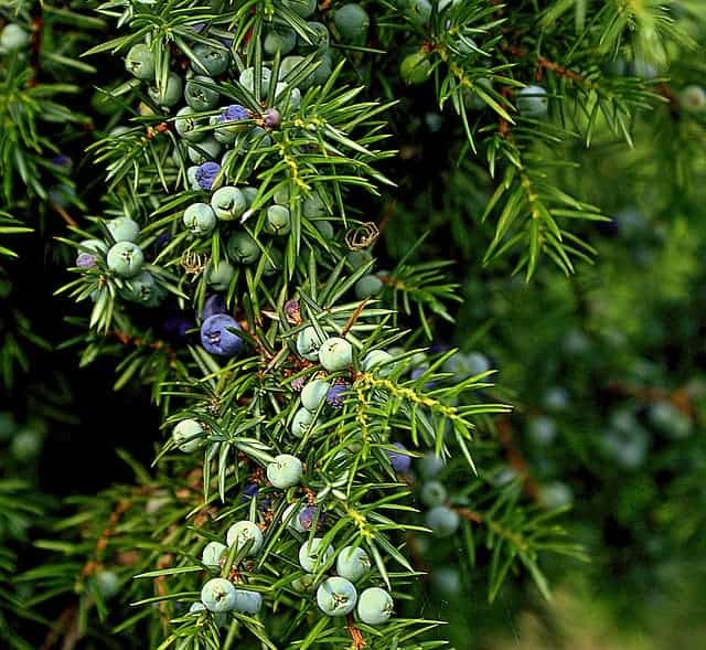 Juniper for friction fire lighting