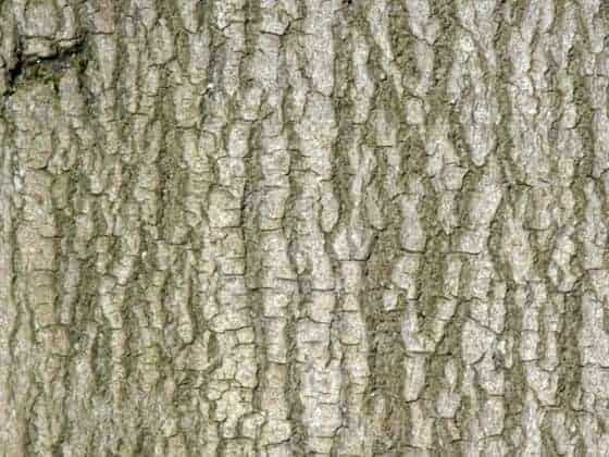 Beech bark how to identify trees in Winter