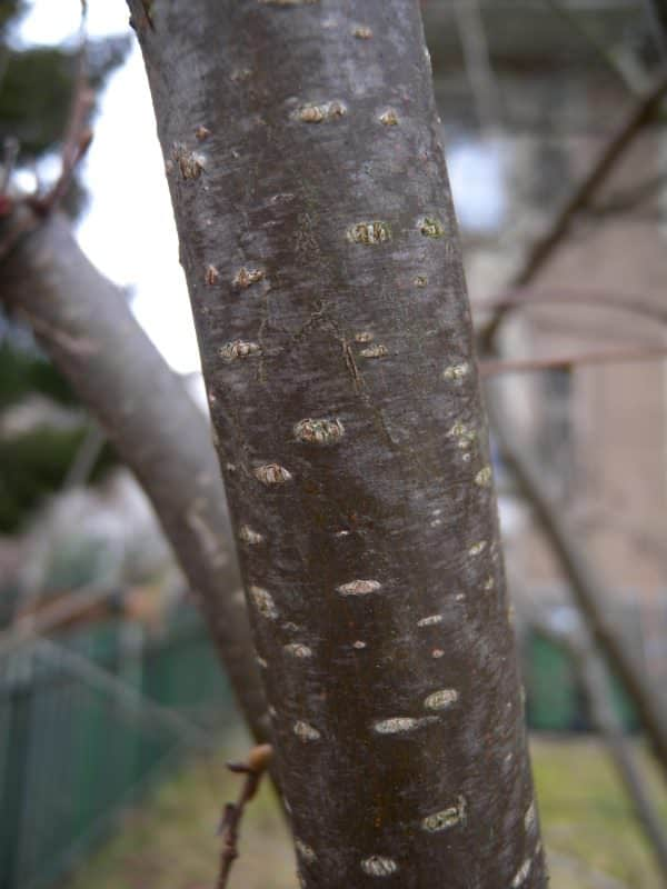 Hazel bark identifying trees in winter