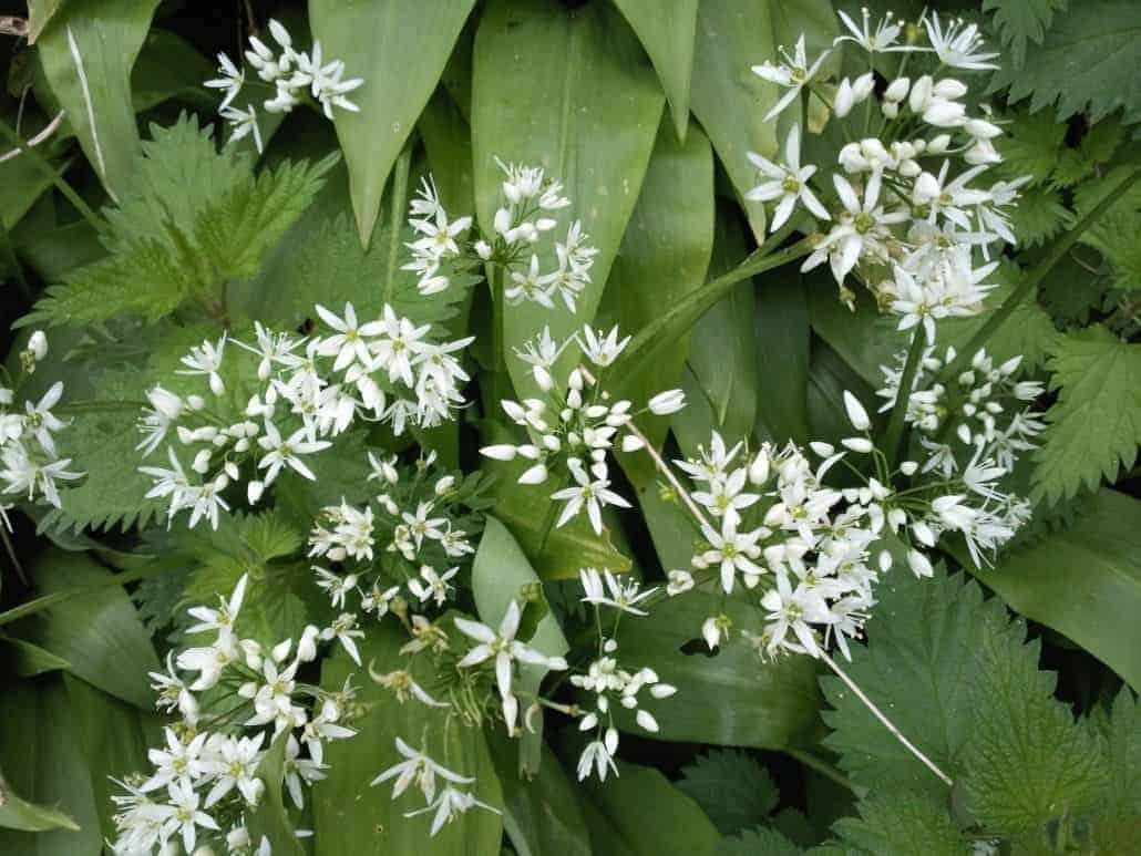 Wild garlic (Ullium ursinum)