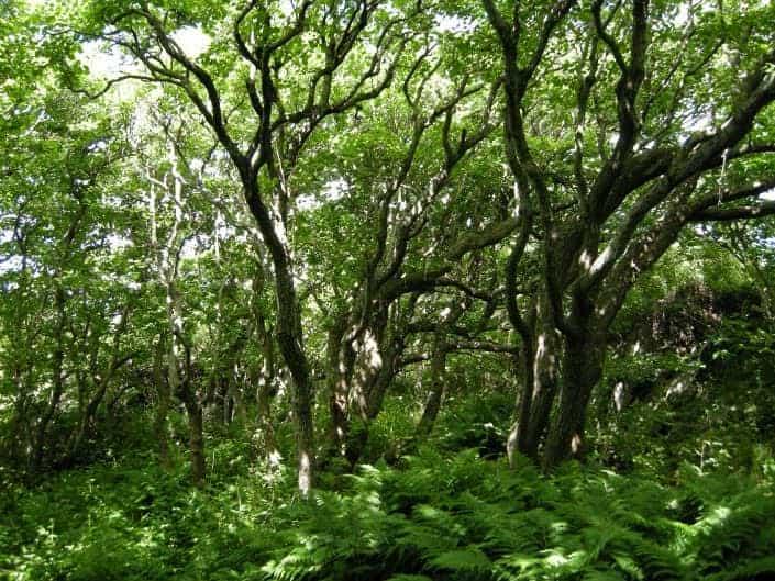 Alder trees for bushcraft