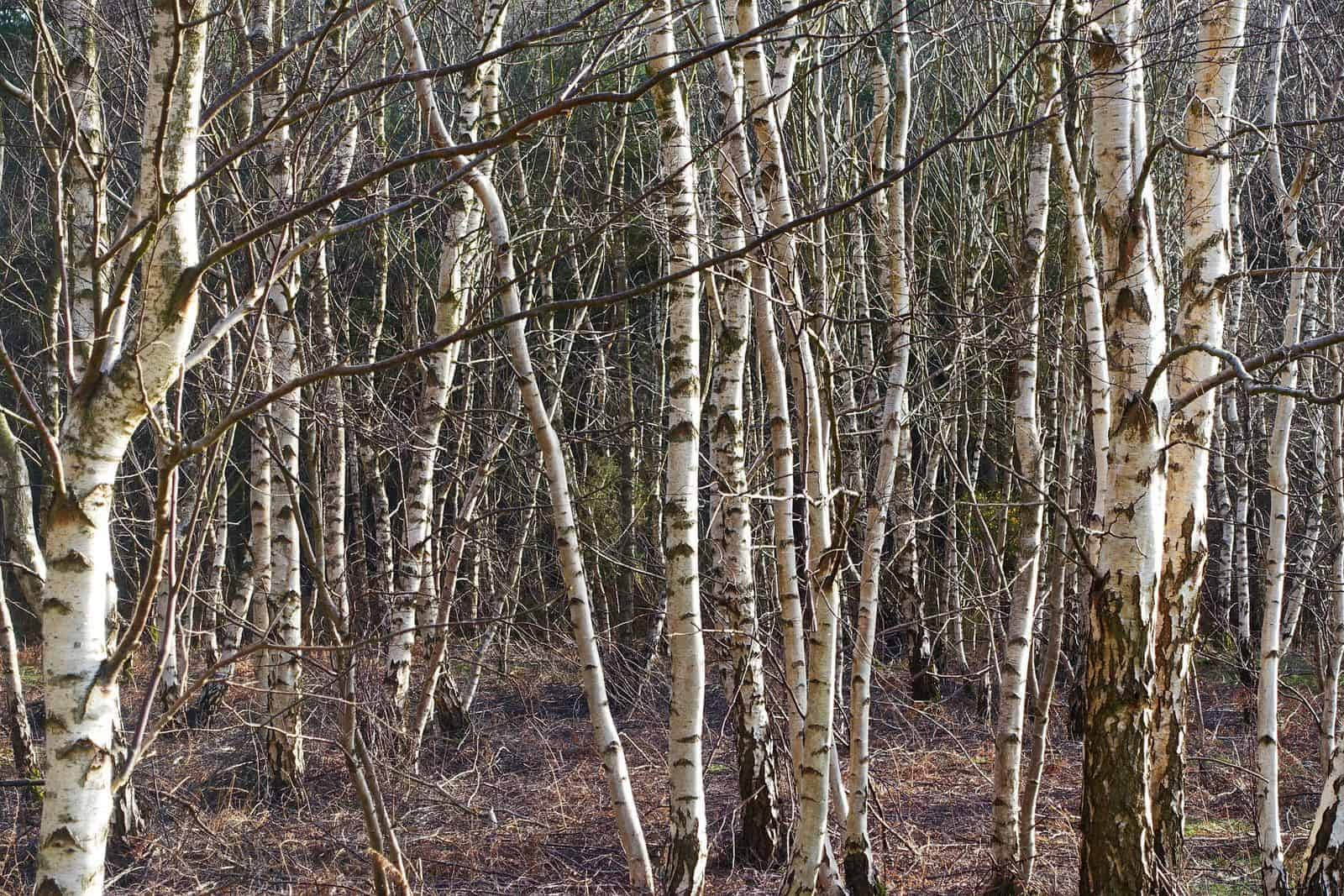 Silver Birch Bark trees