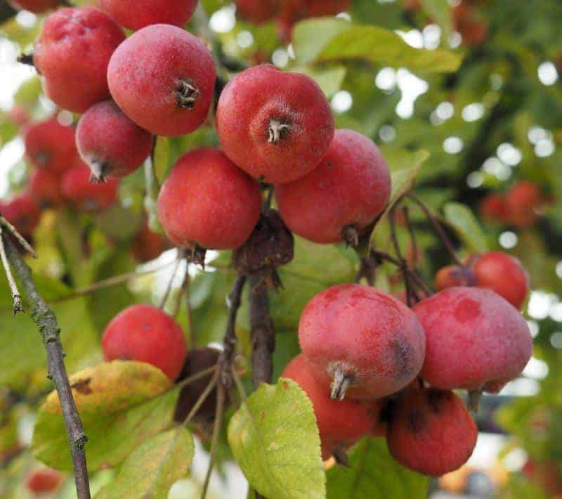 fruit to forage crab apples