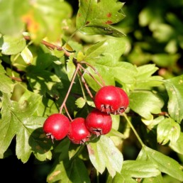 Fruit to forage - Hawthorn Berries