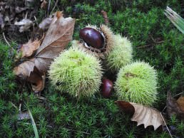 foraging nuts