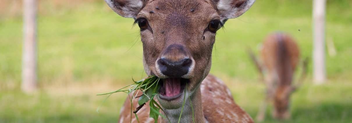 deer chewing the cud